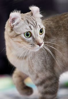 The american curl cat breed is prominently known for its distinguishable feature of its curled back ears. Read more about this amazing cat in this article. Fluffy Cat Breeds, Fluffy Kittens, Cute Kittens, Cats And Kittens, Beautiful Cat Breeds, Beautiful Cats, Pretty Cats, I Love Cats, Cool Cats