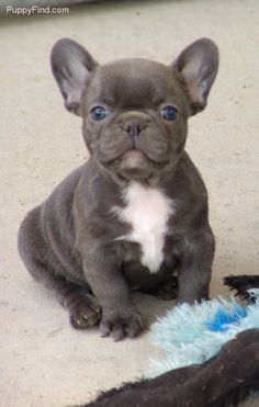 Blue And White French Bulldog Puppies
