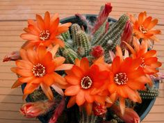 Care Peanut Cactus (Echinopsis chamaecereus)This might be what my cactus will look like. 3-15-2018