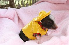 19 Incredibly Cute Photos of Mini Pig Cute Baby Pigs, Cute Piggies, Cute Baby Animals, Cute Babies, Funny Animals, Farm Animals, Baby Piglets, Teacup Pigs For Sale, Micro Mini Pig