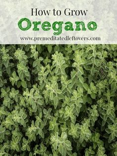 How to Grow Oregano, including how to plant oregano seeds, how to plant oregano in pots, how to care for oregano seedlings, and how to harvest oregano.