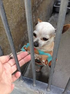 Pint-sized senior waits to be noticed at California animal control  Some being out there open your heart and home up and share your life with Mickey ! : ) Please !