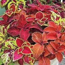 Wizard Mix Coleus has colorful foliage and can be grown in flowerbeds and containers. The seed packets include of mix of coleus varieties. Hibiscus Plant, Hibiscus Flowers, All Flowers, Garden Seeds, Planting Seeds, Seeds Online, Perfect Plants, Leaf Coloring, Foliage Plants