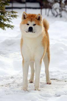 Japanese Akita, Japanese Dogs, Doggies, Dogs And Puppies, Japanese Dog Breeds, A Dog's Tale, Hachiko, Fauna, Shiba Inu