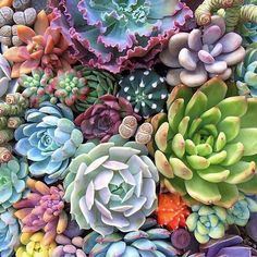 "331 Me gusta, 4 comentarios - Thejoyofplants (@thejoyofplants) en Instagram: ""R A I N B O W S U C C U L E N T S // The perception that succulents are all spikey and green…"""