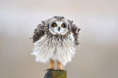 Short eared owl puffed up on post