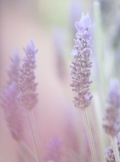 Lavender's blue, dilly dilly, lavender's green by Dianne Galbraith #flowerphotography #photography