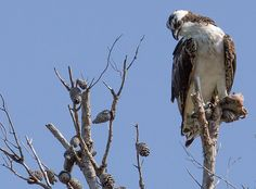 Osprey with fish for lunch. From the Yamato Scrub Natural Area, Boca Raton Florida USA. For more pics go to https://flic.kr/s/aHsjYLZPg5