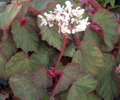 Begonia Morocco