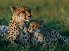 For a [female] cheetah the real danger is not losing a kill but losing her cubs. Ninety-five percent of cheetah cubs die before reaching independence. Hyenas kill them out of hunger, lions apparently out of bad habit. … Female cheetahs deal with the threat by constantly moving, preferably before their rivals even know they're around.