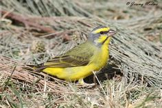 The yellow-fronted canary (Crithagra mozambicus) is a small passerine bird in the finch family. It is known elsewhere and in aviculture as the green singing finch. Canary Singing, Hawfinch, Bullfinch, Beautiful Birds, Habitats, Yellow, Finches, Animals, Green