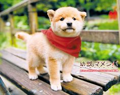 shiba inu - my life long dream is to have this type of dog <3 (and a tea cup terrier)