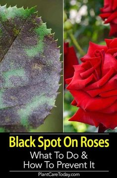 Black Spot On Roses: What To Do And How to Prevent It Black spot on roses is caused by the fungal disease Diplocarpon rosae, especially when weather is hot, humid and nights are damp and cool. [LEARN MORE] Rose Bush Care, Rose Care, Comment Planter Des Roses, Black Spot On Roses, Rose Plant Care, Pruning Roses, Gardening For Beginners, Gardening Tips, Organic Gardening