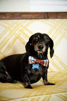 handmade doggy bowtie for Siggy's birthday:)   (Siggy is my niece's dachshund... isn't he a dapper fella?!)
