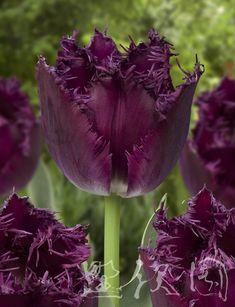 Fringed Tulip 'Bulldog'