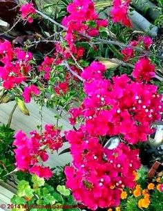 My Kitchen Garden: How To Grow and Care Bougainvillea in Pots