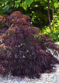 Acer Palmatum/ Solfjäderslönn/ Japaninvaahtera. Litet vackert träd eller buske. Trivs i sol eller halvskugga. Odla helst i kruka och övervintra inne.