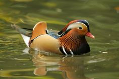 Image: Mandarin Duck (Aix galericulata), zoological garden of Augsburg, Germany.