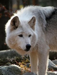 We love wolves. Submit your posts! Wolf Husky, Wolf Pup, Wolf Photos, Wolf Pictures, Animals Black And White, White Wolf, Beautiful Wolves, Beautiful Dogs, Baby Wolves
