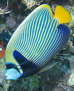 Marine Aquarium, Marine Fish, Saltwater Aquarium, Freshwater Aquarium, Underwater Creatures, Ocean Creatures, Beautiful Sea Creatures, Animals Beautiful, Colorful Fish