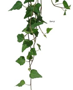 If you find this useful. You don& have to credit or link here. Cut from my photo with Photoshop fav. Ivy Plants, Green Plants, Indoor Plants, Photoshop Images, Tree Silhouette, Plantation, Autocad, Shrubs, Landscape Design