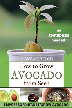 super easy way to grow avocado plants from the seed inside the part you eat. No toothpicks required. See the instructions.A super easy way to grow avocado plants from the seed inside the part you eat. No toothpicks required. See the instructions. Fruit Garden, Edible Garden, Garden Plants, Garden Soil, Water Plants, Balcony Garden, Strawberries Garden, Nitrogen For Plants, Growing Strawberries In Containers