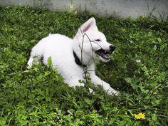 berger blanc suisse dog photo | ... Ovčar [Berger Blanc Suisse,White Swiss Shepherd Dog] :: PeSjanar.Si