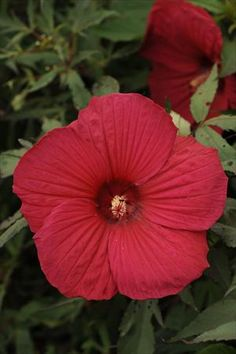 Hibiscus Fireball grows 4-6 ft tall and 2-3 ft spread, with foliage that is tinged purple