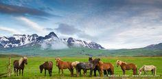 Photos from West Iceland (Budir church, Snaefellsness, Arnarstapi, Hraunfossar, Icelandic horses, ..). Buy a fine art print, canvas print or usage license.