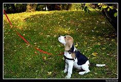 #beagle #dog