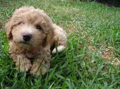 From our Poodles photo contest: In this photo, Leon, a miniature apricot Poodle, was about 8 weeks old. Even though he's now 4 years old, his pet parent, Halle, says he still acts like a puppy.