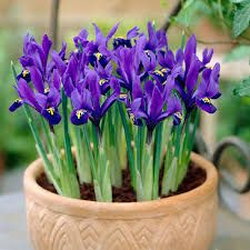 Iris reticulata - a dwarf, bulbous perennial to 15cm in height, with narrow, stiffly erect leaves and fragrant, deep violet-purple flowers 8cm in width, each fall marked with a central yellow ridge