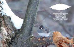 The American Chestnut Foundation - Restoring the American chestnut tree