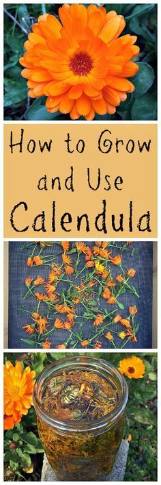 Calendula! Learn all about this amazing edible, medicinal, and beautiful herb!