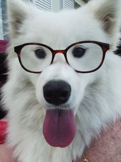 #Samoyeds. They look really cool in glasses.