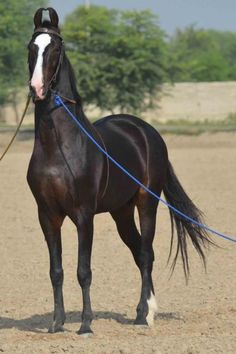 18 Best Marwari Horses Images Beautiful Horses Pretty Horses