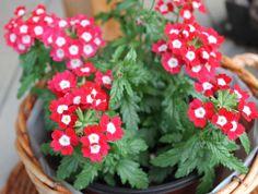 Verbena je u nás pěstována jako balkonovka, ale ve své domovině (Amerika) je trvalkou. Pokud jí dopřejete vhodné podmínky, udělá zvašeho truhlíku nebo závěsného květináče opravdovou záplavu různě barevných květů. …