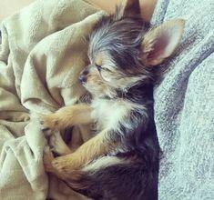 Chorkie Puppy ♡ awe #teacupdogslist #teacupdogs #teacupbreeds #popularTeacups