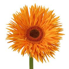 Orange Spider Gerbera - Available all year