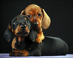 daschunds. . .awwww how cute! snuggllllleeesss
