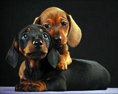 daschunds. . .awwww how cute! snuggllllleeesss
