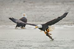 Bald Eagle flies with fish