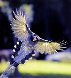 7) Blue Magpie | http://paradiselifestyles.blogspot.com
