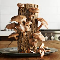 Simply soak the log in water to start the growing process, and you'll be ready to harvest fresh shiitake mushrooms in just a few weeks.