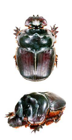 Coprophanaeus cerberus