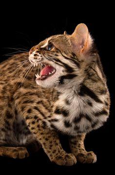 Small Wild Cats, Big Cats, Cool Cats, Kittens Cutest, Cats And Kittens, Here Kitty Kitty, Kitty Cats, Asian Leopard Cat, Singular