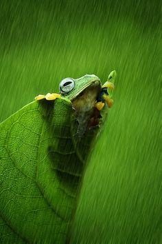 Green frog in the rain. hujan pun turun.. by Izhar Ramadhan on 500px