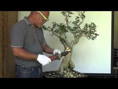 Bonsai Tutorials for Beginners: How to bonsai a Lemon tree from Nursery Stock. - YouTubeMore Pins Like This At FOSTERGINGER @ Pinterest☝✋