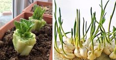 Don't toss out food scraps. Here's 13 vegetables you can re-grow again and again - an article