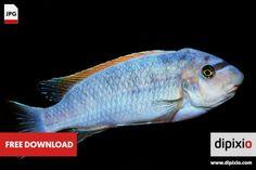 Free photo of cichlid fish (Labeotropheus) for download on www.dipixio.com #dipixio #freephoto #freebie #free #photo #freedownload #stockphotos #photography #graphics #photos #blog #blogger #pic #freeimage #stock